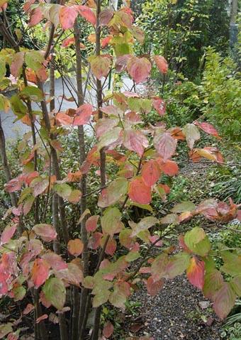 ヤマボウシの紅葉
